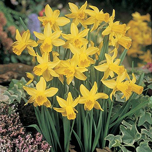 Gardens2you FEBRUARYGOLDX40