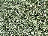 Acaena buchananii - Im 0,5 lt. Vierecktopf