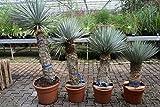 Yucca rostrata - Blaublättrige Yucca - verschiedene Größen (140-150cm Stamm 70-80cm - Topf Ø 40cm)