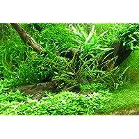 suchergebnis auf f r aquarium pflanzen set garten. Black Bedroom Furniture Sets. Home Design Ideas