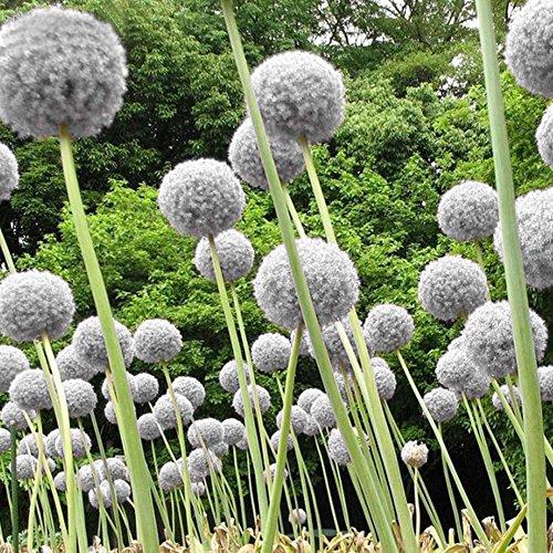 Ncient 30/Sac Graines de Fleurs Decoration - Ail d'ornement - Seed Semences Fleurs en Pot Parfumées Bulbe à Fleurs Vivaces de Balcon Jardin