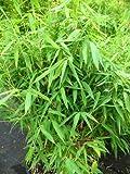 Bambus China Rohrgras Fargesia murielae Jumbo 80 - 100 cm hoch im 12 Liter Pflanzcontainer