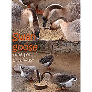 Swan goose. Time for breakfast