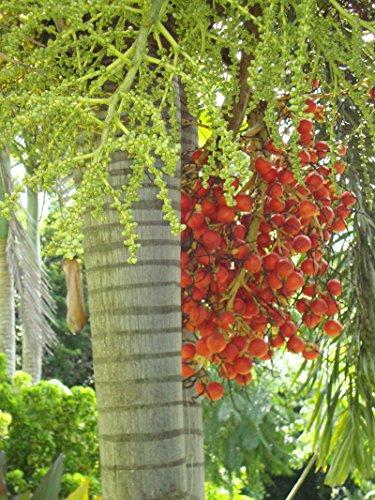 7 frische Samen Wodyetia bifurcata