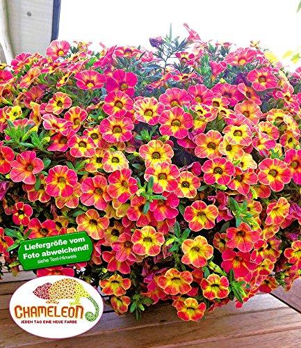 "BALDUR-Garten Zauberglöckchen ""Chameleon Sunshine Berry"" 3 Pflanzen Calibrachoa"