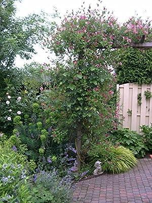 Passionsblume (Passiflora caerulea) - Kletterpflanze, Winterhart & Immergrün - 1,5 Liter Topf   ClematisOnline Kletterpflanzen & Blumen von ClematisOnline - Du und dein Garten