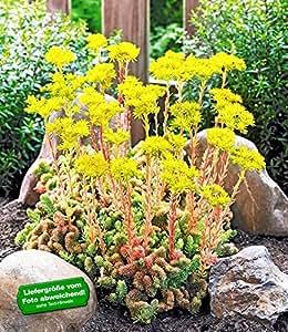 BALDUR-Garten Korallen-Sedum 2 Pflanzen Felsen-Fetthenne