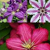 3 Clematis Kletterplanzen: 3 kaufen/2 bezahlen - Blumen: Blau, Weiß & Rot - Winterhärte sehr gut - 1,5 Liter Topfen   ClematisOnline Kletterpflanzen & Blumen