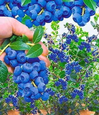 BALDUR-Garten Trauben-Heidelbeeren Reka Blue 2 Pflanzen Vaccinium corymbosum von Baldur-Garten bei Du und dein Garten