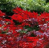 Kleinblättriger Zwergahorn Hime Shojo 30-40cm - Acer palmatum