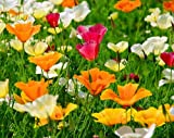 Kalifornischer Mohn Mix - Eschscholzia californica - Mohn - 500 Samen