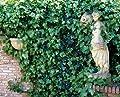 Irischer Efeu, 5 Pflanzen