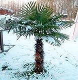 Trachycarpus fortunei ca. 180-190 cm. Frostharte Hanfpalme bis -17 Grad