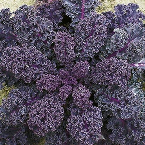 Seekay Berza 'Escarlata' ( Kale ) 500 Semillas - Kale , Berza , Scarlet. - Semillas - Vegetal - Sembrar Primavera - Temprano Verano