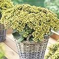 lichtnelke - Pracht - Fetthenne ( Sedum telephium GREEN-YELLOW ) von Lichtnelke Pflanzenversand - Du und dein Garten