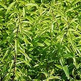 Blumixx Stauden Lippia citriodora - Zitronenverbene, im 0,5 Liter Topf, weiß blühend