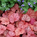 lichtnelke - Purpurglöckchen ( Heuchera ' Georgia Peach ' ) von Lichtnelke Pflanzenversand - Du und dein Garten