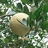 IRIS GARDENS Rare Wood apple plant Limonia acidissima 1 Healthy Grafted Live Plant