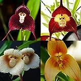 Nice 10PCS Neue selten Schöne Pflanze Flower Garden Orchidee Samen Monkey Face Hot