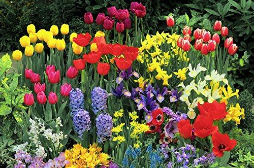 """Dominik Blumen und Pflanzen, """"Blumenmeer"""" 170 Blumenzwiebeln in der Holzkiste: Tulpen, Narzissen, Iris, Goldlauch, Anemonen und Traubenhyazinthen, mehrjährig, winterhart"""
