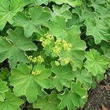 lichtnelke - Frauenmantel (Alchemilla mollis)