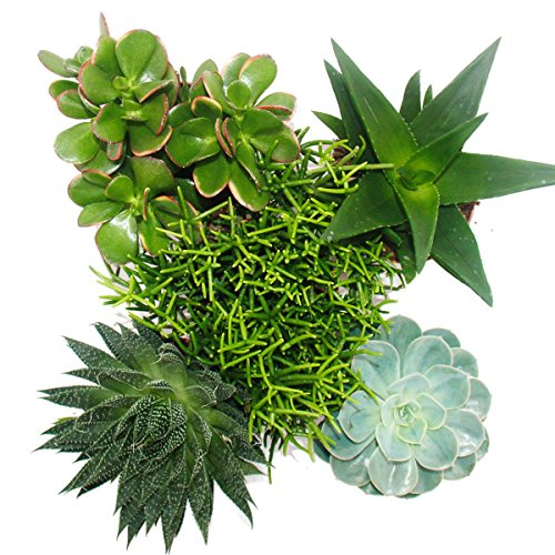 set-of-5-different-succulents-in-a-12cm-pot