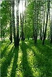 Posterlounge Leinwandbild 100 x 150 cm: Birkenstämme mit Langen Schatten von Editors Choice - fertiges Wandbild, Bild auf Keilrahmen, Fertigbild auf Echter Leinwand, Leinwanddruck