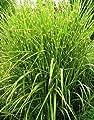 Miscanthus sinensis Zebrinus (Garten-Zebraschilfgras) 5-50cm / 3l-Container (Stauden, Gräser und Farne) von pflanzmich auf Du und dein Garten