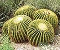 Schwiegermutterstuhl - Echinocactus grusonii - Goldkugelkaktus von GardenPalms auf Du und dein Garten