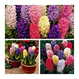 Humphreys Garden Hyacinth Jacinthe Mixed x 30 Bulbes Size 15/16