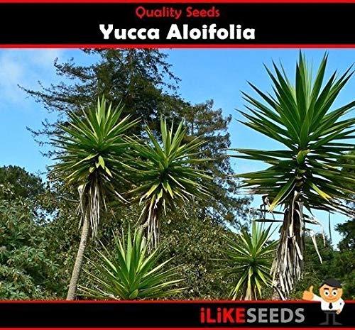 ScoutSeed Yucca'Aloifolia' 10 Samen Minimale Gartenpflanzen Ein landschaftlich schöner Edelstein, einfach zu züchten