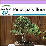 SAFLAX - Pino blanco japonés - 12 semillas - Pinus parviflora