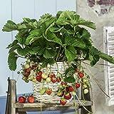 Erdbeere Ostara, 10 Stück, ...