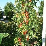 10 Samen Tomate unbekannt 4m – 4 Meter hoch, Massenertrag