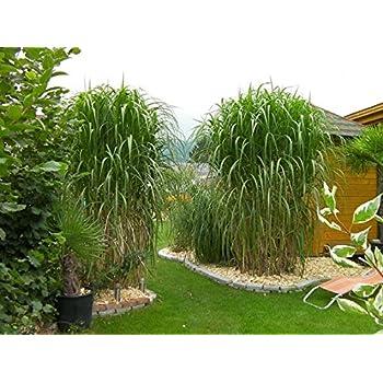 10 Pflanzen Topfe Riesen Chinaschilf Bambus Schilf Graser