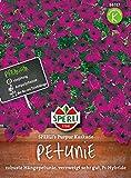 Sperli-Samen Petunie (Hängepetunie) SPERLI's Purpur Kaskade F1 Hybride