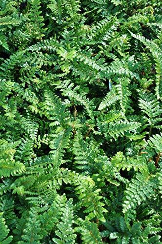 Palmenmann Farn (Japanischer Glanzschildfarn) Jade - Polystichum polyblepharum Jade