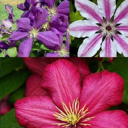 Clematis Kletterplanzen Kombination (3 Pflanzen): 3 kaufen/2 bezahlen - Blumen: Blau, Weiß & Rot -...