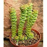 Crassula rupestris - planta suculenta - 10 semillas