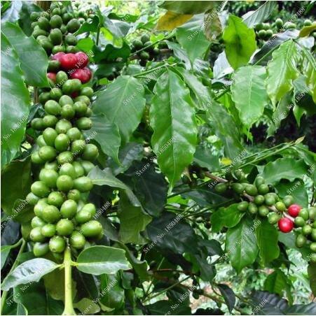 Neue 20 PC / bag frischen Kaffeebohnen Samen Home-grown Kakaobohne Pflanze echte Samen zum Verkauf