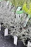 Palmenmann Zickzack-Strauch (Maori Silver ®) - CorokiacotoneasterMaori Silver