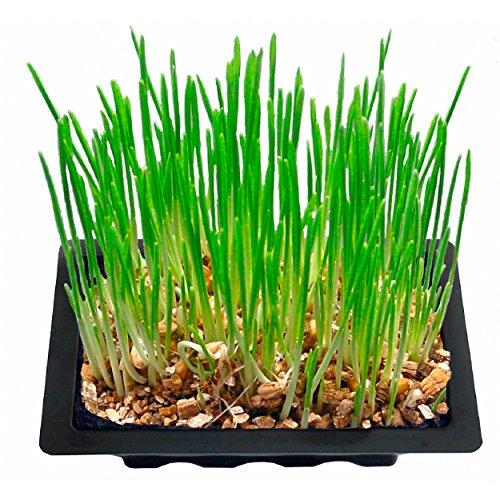 Katzengras Samen von Buzzy mit Anzuschtschale 16,5 x 12 x 5cm und Beutel mit 13g Saatmischung zum selbst Anpflanzen - Mini Gewächshaus mit Schale und Nährboden