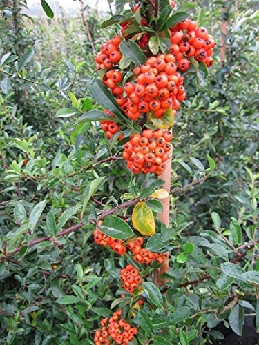 Pyracantha Orange Glow - Feuerdorn Orange Glow -
