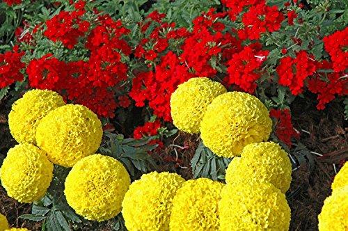 E Garden AFRICAN MARIGOLD F1 HYBRID INCA TYPE FLOWER SEEDS.PACK of 50 SEEDS