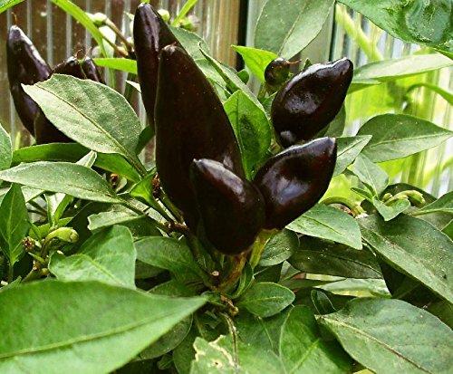 10 Samen Chili Feuerküsschen Samen, Massenträger, schwarzer Chili,Naschzipfel,Fire kiss