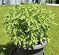 250 Samen Basilikum Lime – Ocimum basilicum, ausgeprägter Limettengeschmack