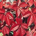 Wilder Wein Parthenocissus quinquefolia 60 -100 cm 2 L Co. von VDG-KL-Baumschule - Du und dein Garten
