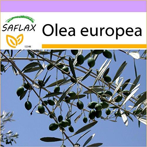 SAFLAX - Olivo - 20 semillas - Olea europea