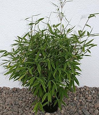 BALDUR-Garten Winterhart Gartenbambus Piccobello Fargesia Bambus ohne Ausläufer, 1 Pflanze von Baldur-Garten - Du und dein Garten