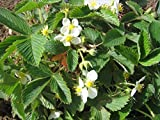 Wald-Erdbeere, Fragaria vesca var.vesca im 9cm Topf